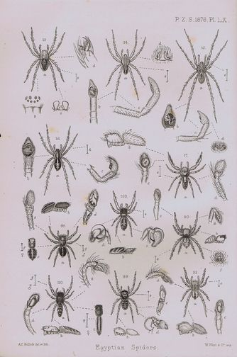 CATALOGUE OF A COLLECTION OF SPIDERS MADE IN EGYPT, Rev. O. P. Cambridge.