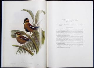 MONOGRAPH OF THE PITTIDAE. John Gould